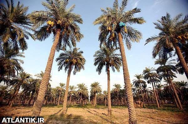 نخلستان های خرما اهواز خوزستان